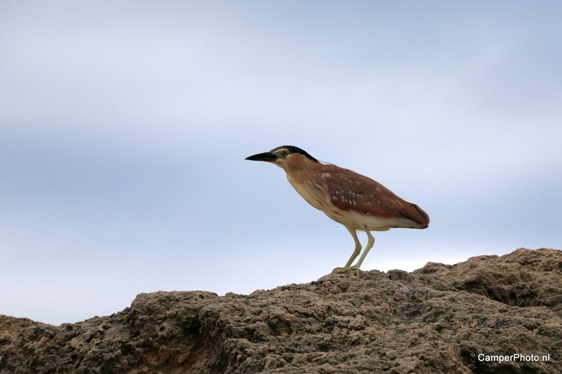 Rufous Night Heron, Rosse kwak