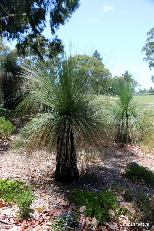 Grasstree - Kings Park - Botanic Garden Perth