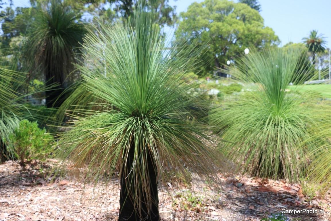 Xanthorrhoea preissii - Kings Park - Botanic Garden Perth