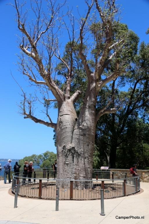 Boab boom - Kings Park - Botanic Garden Perth