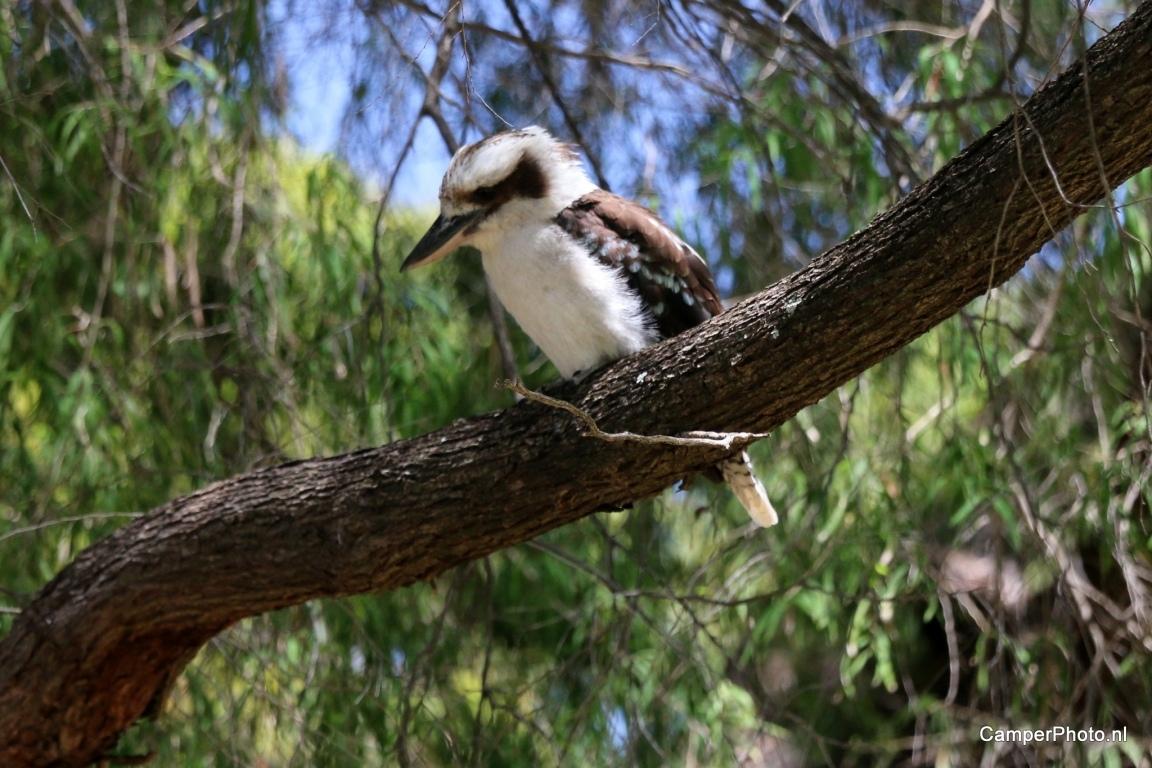 Lachvogel - Kings Park - Botanic Garden Perth