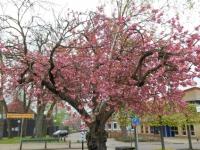 Prunus/berk ineen in Borger